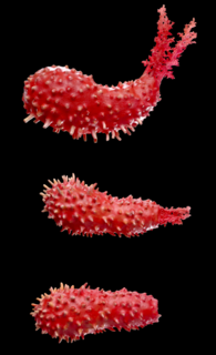 Strawberry sea cucumber (Squamocnus brevidentis)
