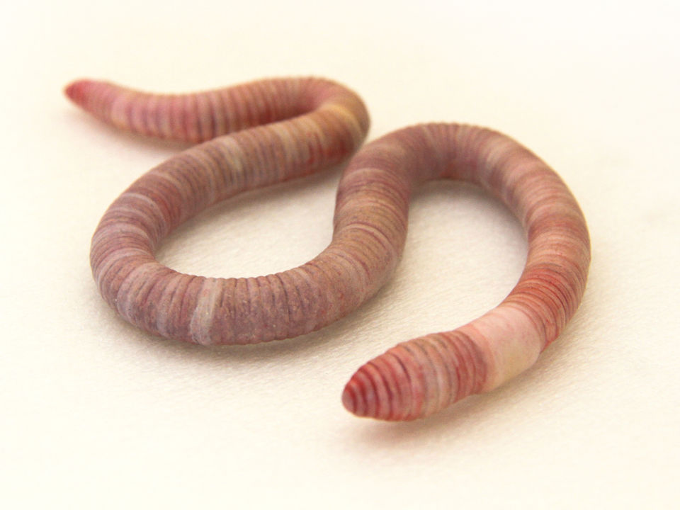 Earthworm (Octochaetus multiporus)