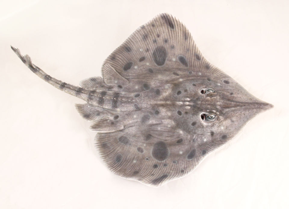 Rough Skate model (Zearaja nasuta)